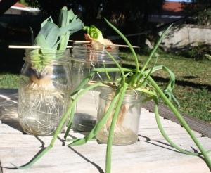 Allium 6