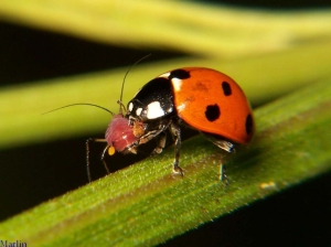 Photo from https://marksolock.wordpress.com/2011/04/12/ladybug-eating-aphid/